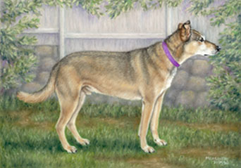 the gallery for gt white greyhound german shepherd mix